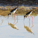 51  Black-necked Stilts