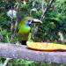 18 Green Toucanet