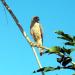 35 Roadside Hawk