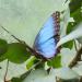 15 Blue Morpho