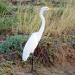 45 Great Egret