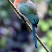 44 Broad-billed Motmot